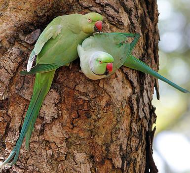 Rose-ringed Parakeet by Sandeep Gangadharan