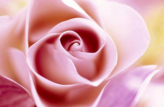 Jan Vermeer - Rose Close Up Of Pink Flower