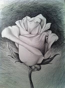 Rose by Stephanie Reid