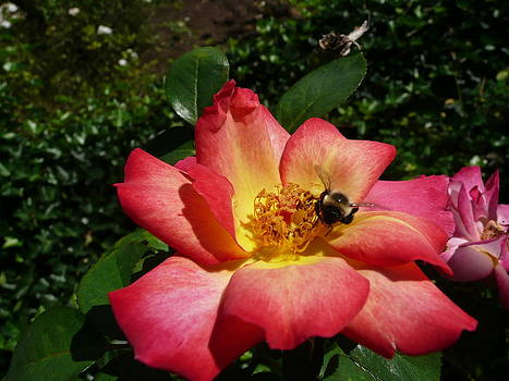 Angela Hansen - rose with bee