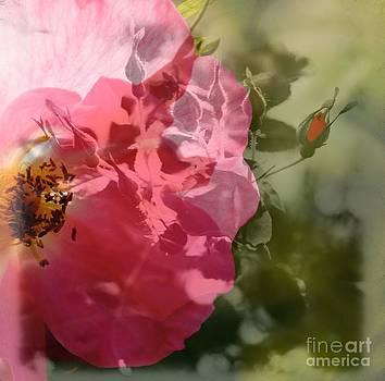 Rose3 by Diane Stresing