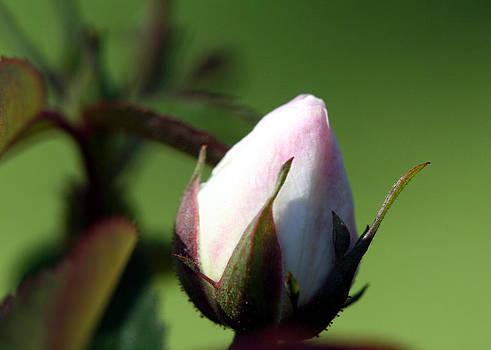 Rosebud by April Wietrecki Green