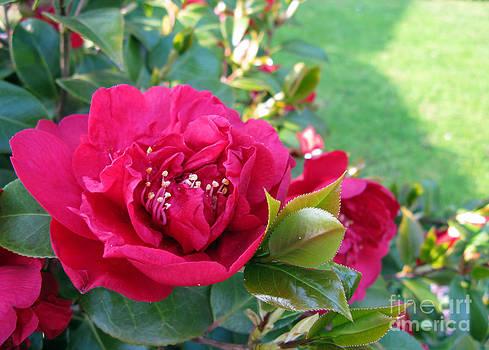 Ausra Huntington nee Paulauskaite - Roses. Crimson red.