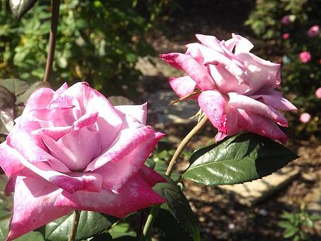 Rosy Roses by Kathy Budd