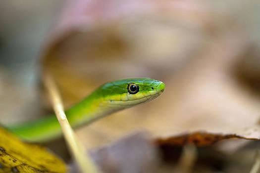Rough Green Snake by Dan Lease