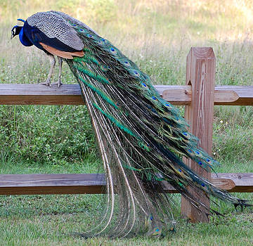 Royal Feathers by Ama Arnesen