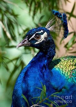 Sabrina L Ryan - Royal Peacock