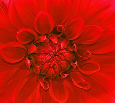 Michelle Cruz - Royal Red Dahlia Macro