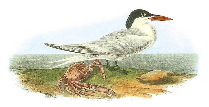 John James Audubon - Royal Tern