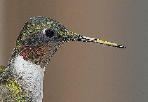 Ruby-Throated Hummingbird by Ray Downs