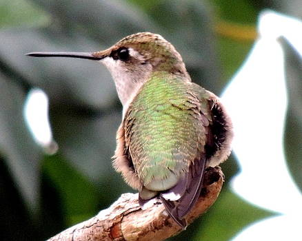Amalia Jonas - Rufous Hummingbird