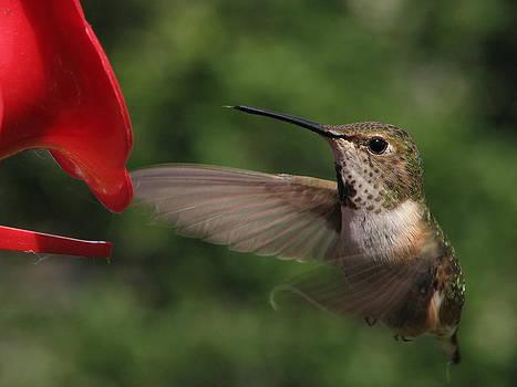 Rufous Hummingbird by Keith Rohmann