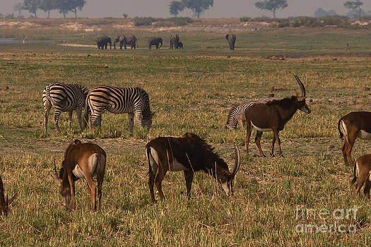 Mareko Marciniak - Sable antelope with zebra and elephants