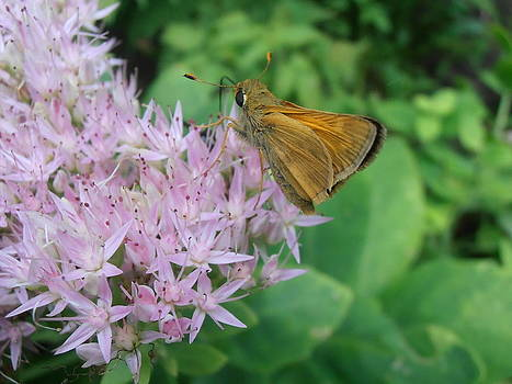 Kimberly Perry - Sachem Butterfly