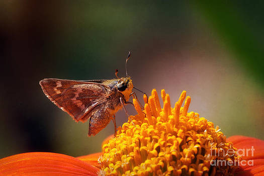 Sachem Butterfly Two by Susan Isakson