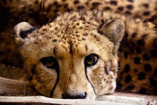 Sad Cheetah by Giles PichelJuan
