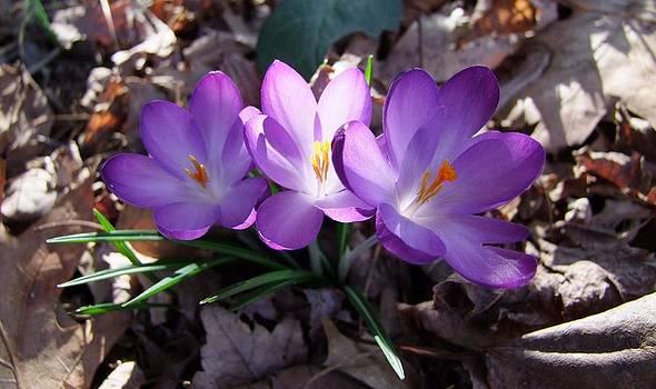 Angela Hansen - saffron crocus - horizontal
