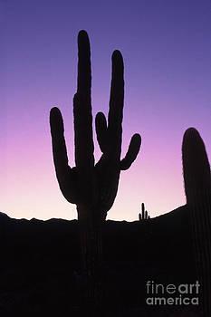 Saguro cactus by Barry Shaffer