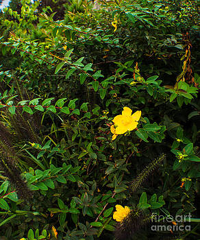 Saint John's Wort by Anne Boyes