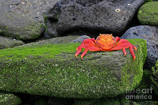 Sally Lightfoot Crab by Matt Tilghman