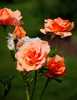 Salmon Colored Roses by Richard Bramante