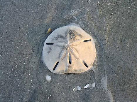 Sand Dollar Folly Beach by Jenny Ellen Photography