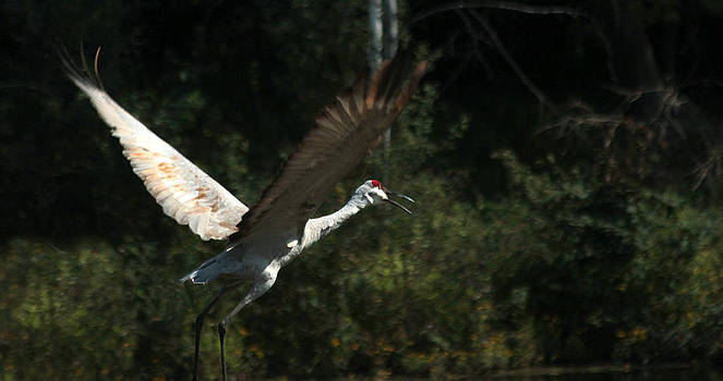 Sandhill Crane in Flight by James Hammen
