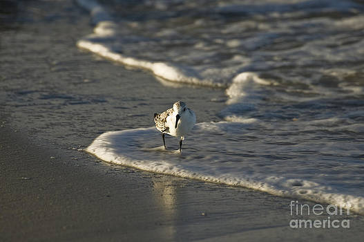 Tim Mulina - Sandpiper on Beach