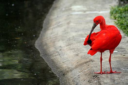Scarlet Ibis by Atul Tater