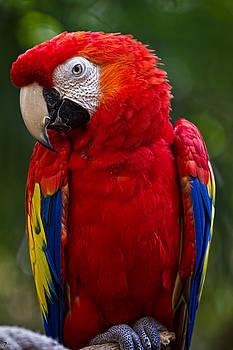 Jason Blalock - Scarlet Macaw