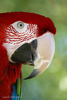 Scarlet Macaw by Lynn Vidler