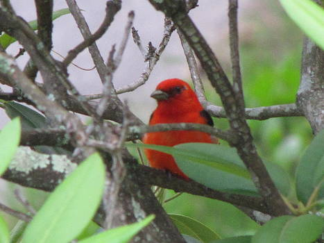 Scarlet Tanager by Shane Brumfield
