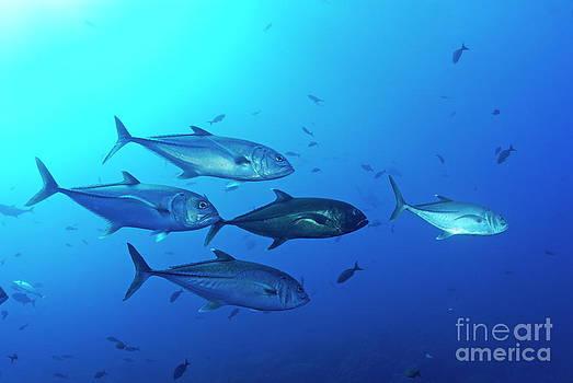 Sami Sarkis - School of Bigeye Jack fishes