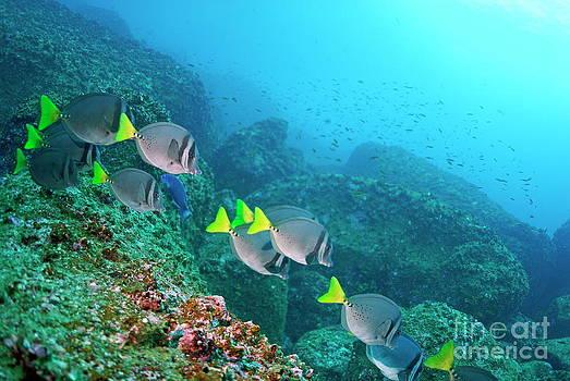 Sami Sarkis - School of Razor Surgeonfish on rocky seabed