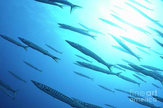 Sami Sarkis - School of Striped Barracudas