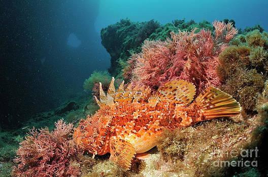 Sami Sarkis - Scorpion Fish on rock
