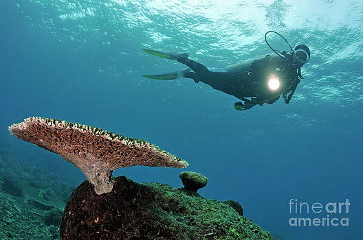 Sami Sarkis - Scuba Diver shining torch by Table Coral