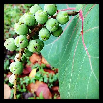 Sea Grapes by Love Bird Photo