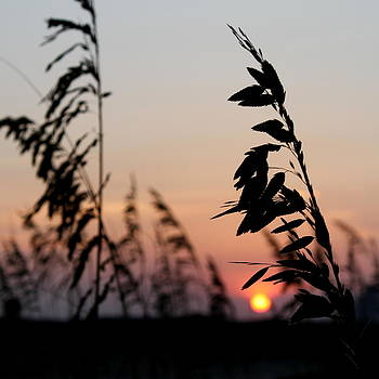 Sea Grass Silhouette by Eric Ward