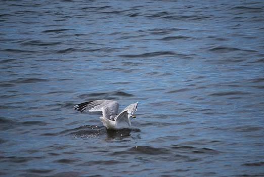 Michelle Cruz - Sea Gull Lands in the Water