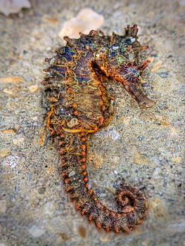 Sea Horse by Jenny Ellen Photography