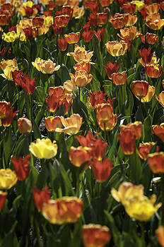 Sea of tulips by Dick Wood