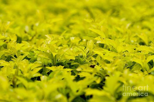Darcy Michaelchuk - Sea of Yellow Leaves