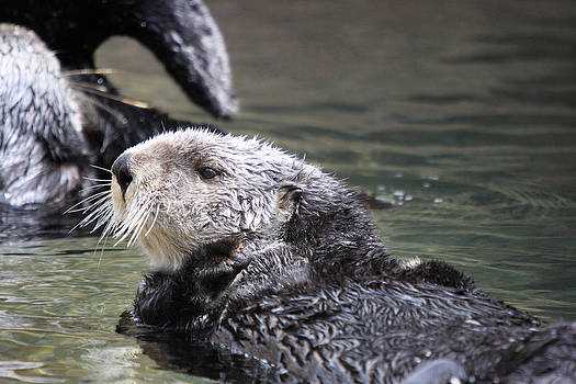 S and S Photo - Sea Otter - 0003