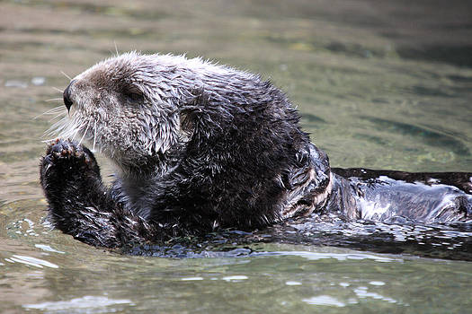 S and S Photo - Sea Otter - 0004