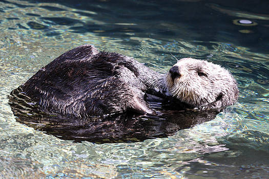 S and S Photo - Sea Otter - 0022