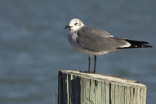 Seagull at Johns Pass by Bridget Finn
