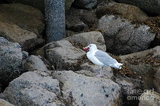 Seagull Eating a Starfish by Marsha Thornton