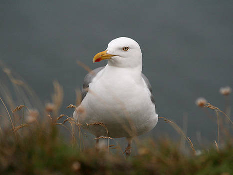 Seagull by Holger Persson