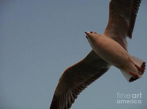 Seagull in flight by Hemangi Koticha